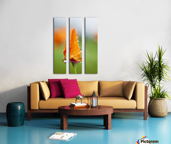 California poppy (Eschscholzia californica) remains closed in the rain; Astoria, Oregon, United States of America Split Canvas print