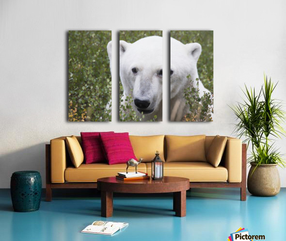 Large male polar bear (ursus maritimus) sitting in the willow bushes near Churchill; Manitoba, Canada Split Canvas print