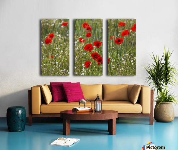 Red and white flowers blossoming in a field; Northumberland, England Split Canvas print