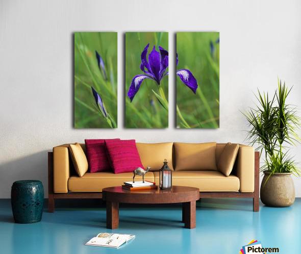 Oregon Iris (Iris tenax) blooms in the forest; Florence, Oregon, United States of America Split Canvas print