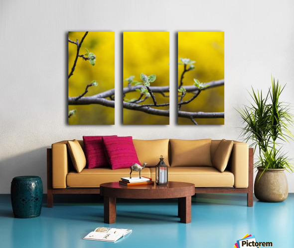 Apple flower buds against a yellow background; Toronto, Ontario ...