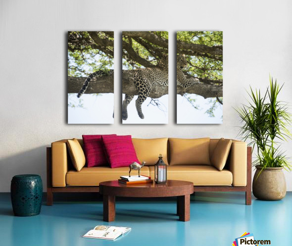 Leopard sprawled on tree limb near Ndutu, Ngorongoro Crater Conservation Area; Tanzania Split Canvas print