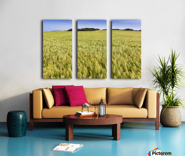Wide angle image of a barley field with blue sky; Brittany, France Split Canvas print