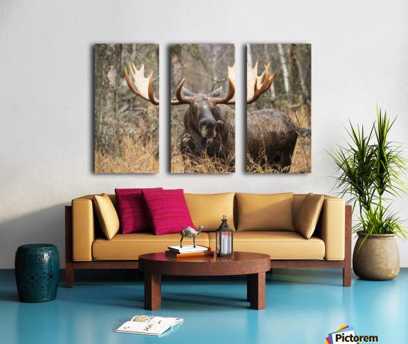 Bull moose (alces alces) in rutting season; Anchorage, Alaska, United States of America Split Canvas print