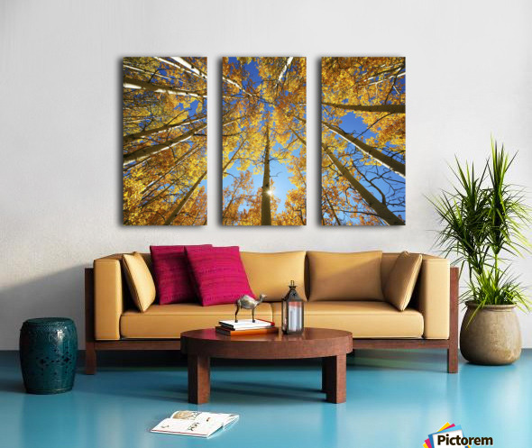 Colorado, Near Steamboat Springs, Buffalo Pass, Yellow Aspen Tree Canopy. Split Canvas print