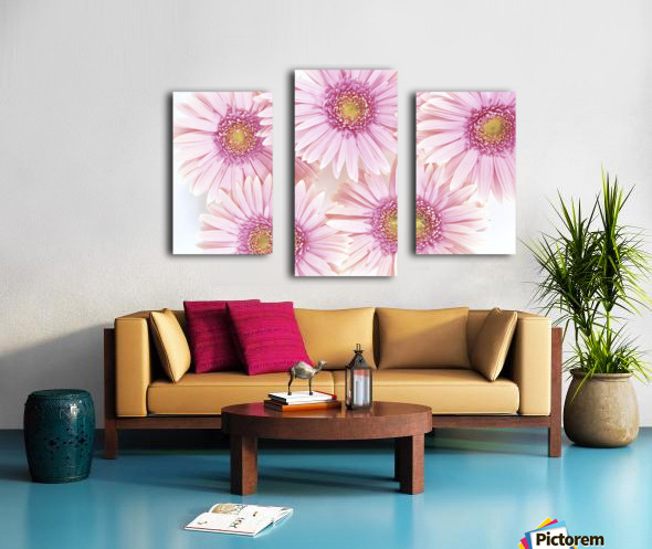 Close-Up Of Pink Daisies Set Together On White Background Studio Shot Canvas print