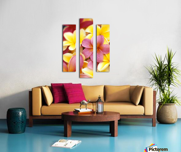 Studio Shot Of Yellow And Two Pink Plumeria Flowers, Water Drops On Petals Canvas print