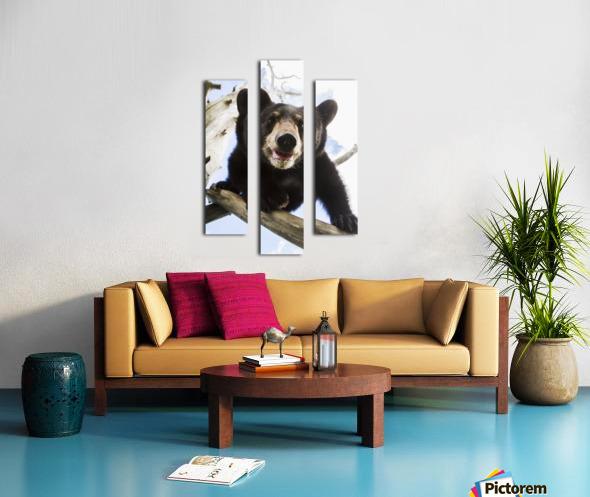 Black bear cub (ursus americanus), captive in Alaska Wildlife Conservation Center, South-central Alaska; Portage, Alaska, United States of America Canvas print