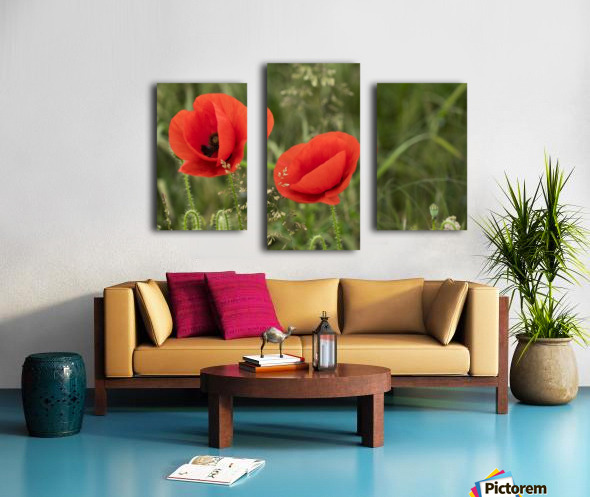 Close up of red poppies blossoming; South Shields, Tyne and Wear, England Canvas print