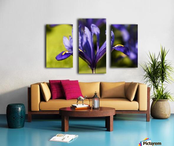Dwarf Iris blooms in February; Oregon, United States of America Canvas print