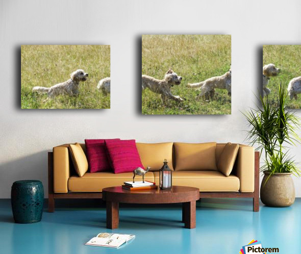 Composite of a blond cockapoo running across a grass field; South Shields, Tyne and Wear, England Canvas print