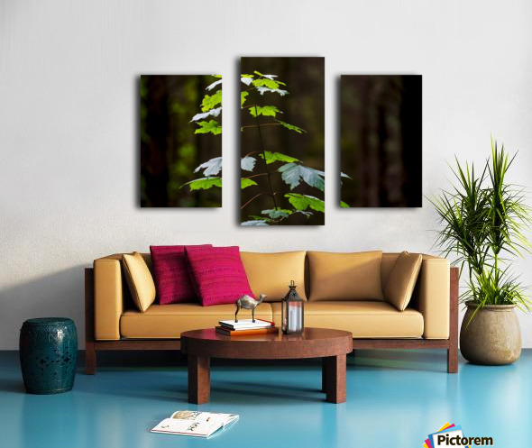 A new green plant grows up towards the sunlight; North Yorkshire, England Canvas print