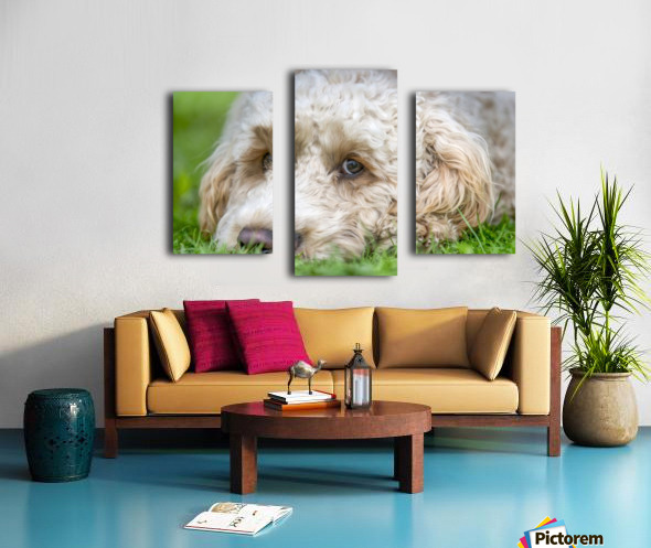 Close-up of the face of a blond cockapoo resting on the grass; North Yorkshire, England Canvas print