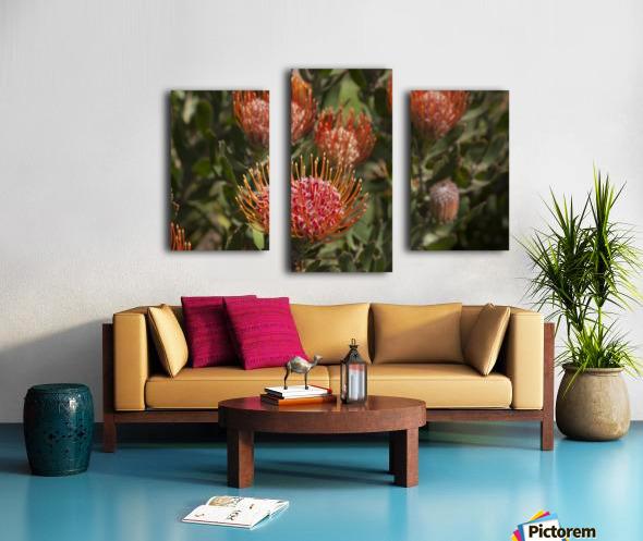 Pincushion (Scabiosa) protea flower; Kula, Maui, Hawaii, United States of America Canvas print