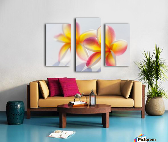 A pair of beautiful yellow and pink Plumeria flowers together (Apocynaceae) on a white background; Honolulu, Oahu, Hawaii, United States of America Canvas print