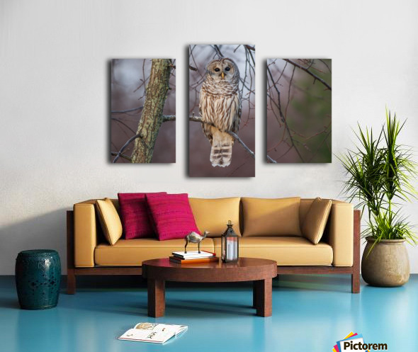 Barred Owl at sunrise. Canvas print