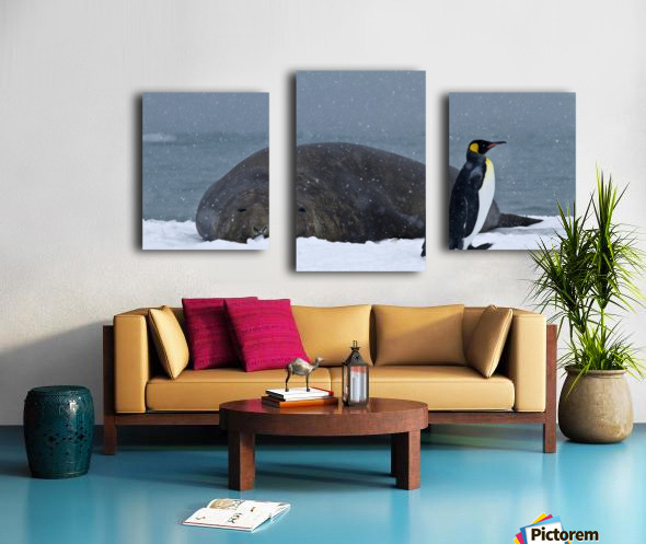 King Penguin walking nest to Elephant Seal Canvas print