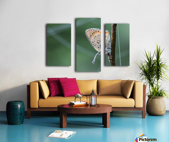 Lycaena tytirus butterfly Canvas print