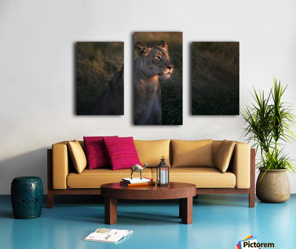 Lioness at firt day ligth Canvas print
