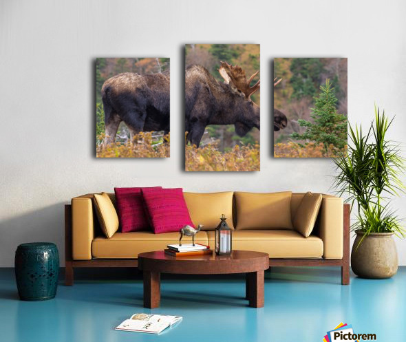 Bull moose on top of Blueberry mountain Cape Breton highlands Canvas print