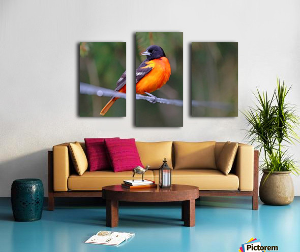 Baltimore Oriole On The Line Canvas print