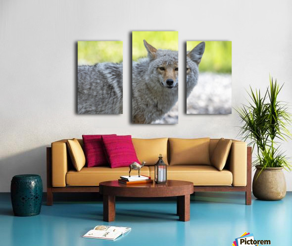 Coyote - Looking at you. Canvas print