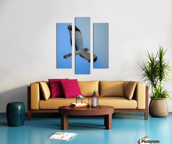 Northern Harrier in Flight Impression sur toile