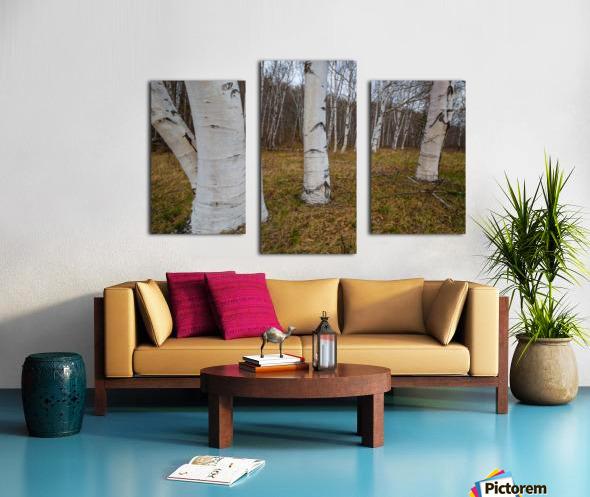 White Birch ap 2242 Canvas print
