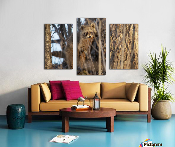 Racoon peeking through twigs Canvas print