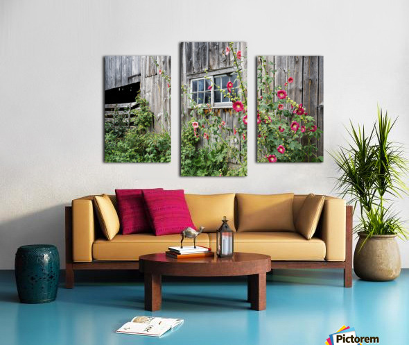 Roses tremieres embellies par une vieille grange - Hollyhocks embellished by an old barn Canvas print