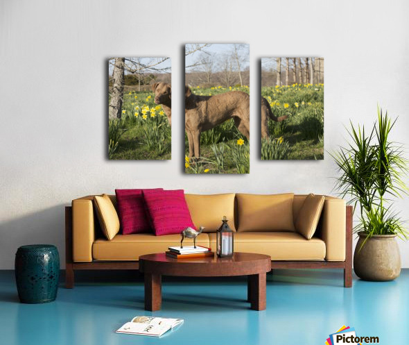 Female Chesapeake Bay retriever in daffodils; Waterford, Connecticut, USA Canvas print