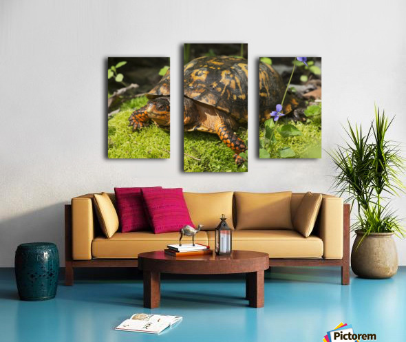 Eastern box turtle on sphagnum moss among blue violets; Connecticut, USA Canvas print