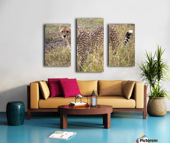 Cheetah (Acinonyx Jubatus), Masai Mara National Reserve, Kenya, Africa; Cheetah On The Prowl Canvas print