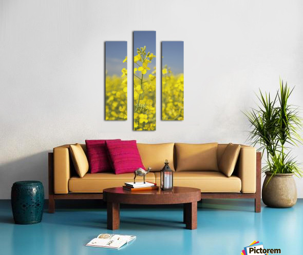 Flowering Canola, Alberta, Canada Canvas print
