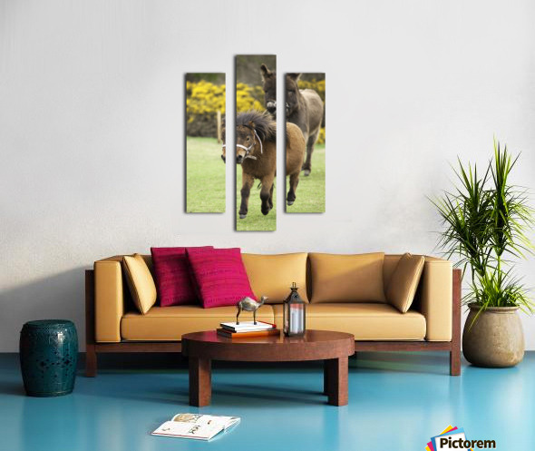 Northumberland, England; Two Ponies Running In A Field Canvas print