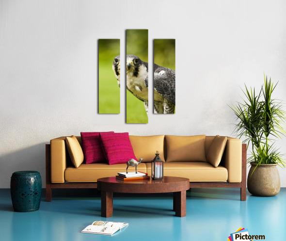 Peregrine Falcon (Falco Peregrinus); Windermere, Cumbria, England Canvas print