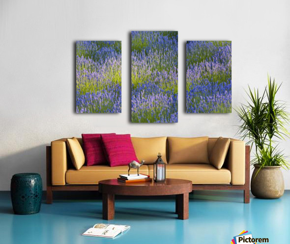 Rows of lavender plants in a field in the cowichan valley;Vancouver island british columbia canada Canvas print