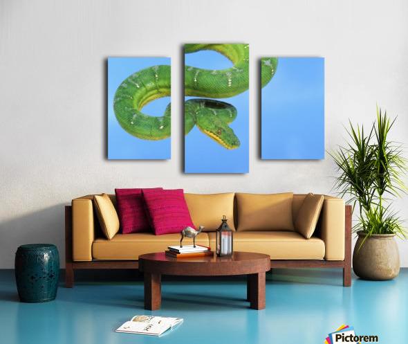 Emerald tree boa (corallus caninus) on a blue background;British columbia canada Canvas print