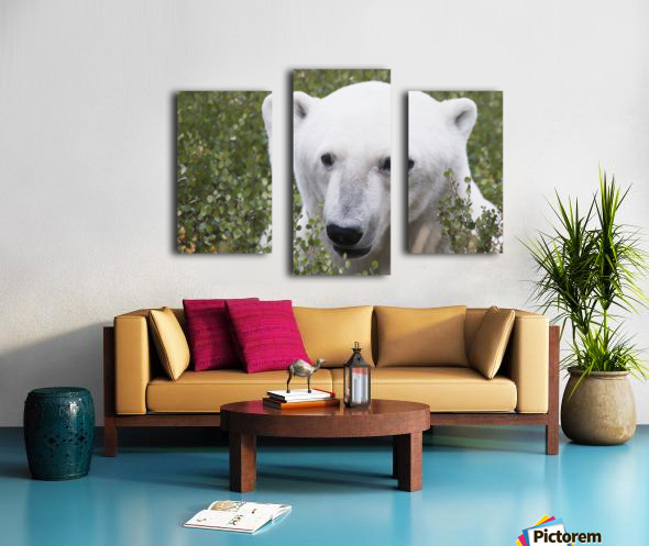 Large male polar bear (ursus maritimus) sitting in the willow bushes near Churchill; Manitoba, Canada Canvas print