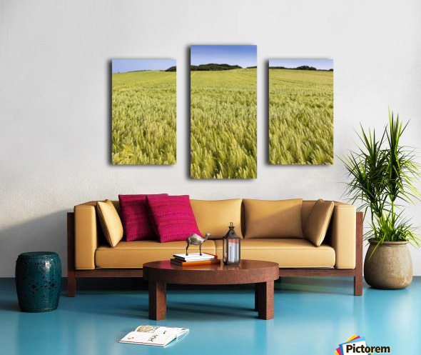 Wide angle image of a barley field with blue sky; Brittany, France Canvas print