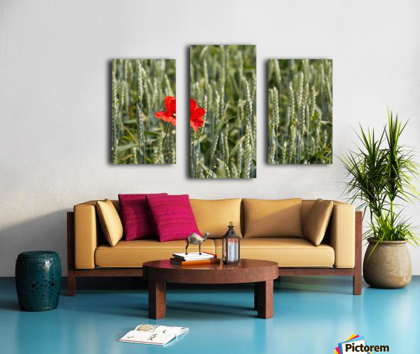 Close up of red poppy in a green wheat field; Brehec, Brittany, France Canvas print
