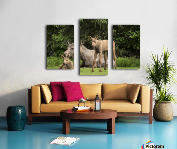 A cow moose (alces alces) relaxes on a lawn with her twin calves; Anchorage, Alaska, United States of America Canvas print