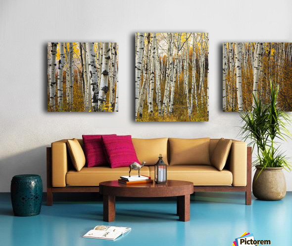 Colorado, Steamboat, Aspen Tree Trunks In Grove, Yellow Autumn Leaves. Canvas print