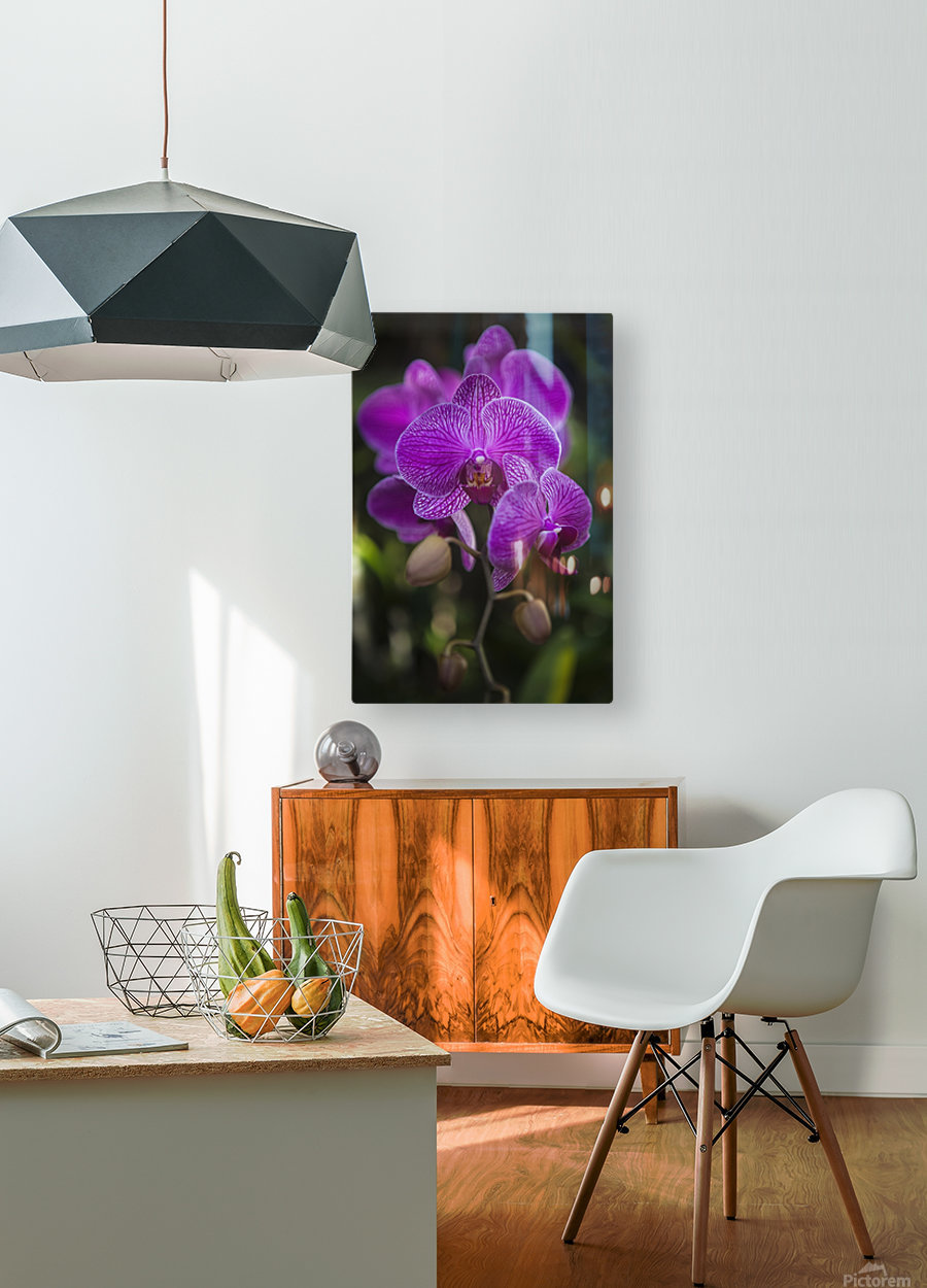 Phalaenopsis orchids in bloom; Kailua, Island of Hawaii, Hawaii, United States of America  HD Metal print with Floating Frame on Back
