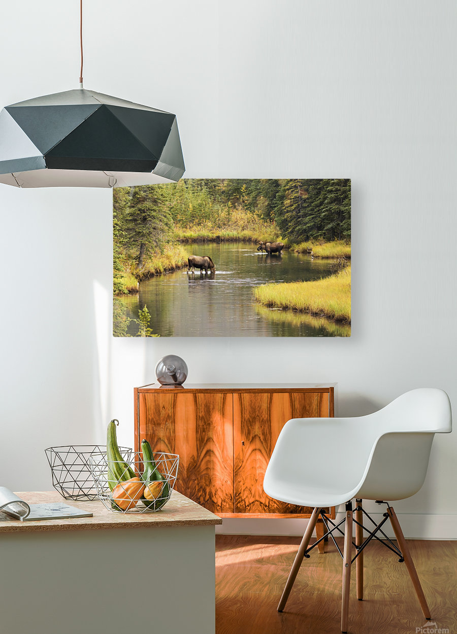 Bull and cow moose (alces alces) feeding in a shallow pond south of Cantwell, photo taken from Parks Highway common moose habitat; Alaska, United States of America  HD Metal print with Floating Frame on Back