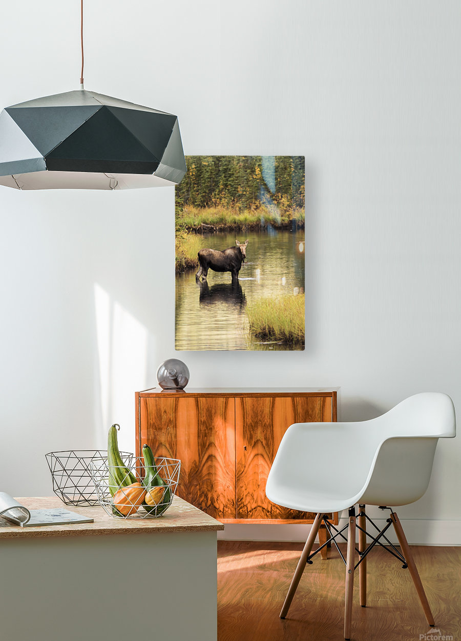Moose (alces alces) feeding in a shallow pond south of Cantwell, photo taken from Parks Highway common moose habitat; Alaska, United States of America  HD Metal print with Floating Frame on Back