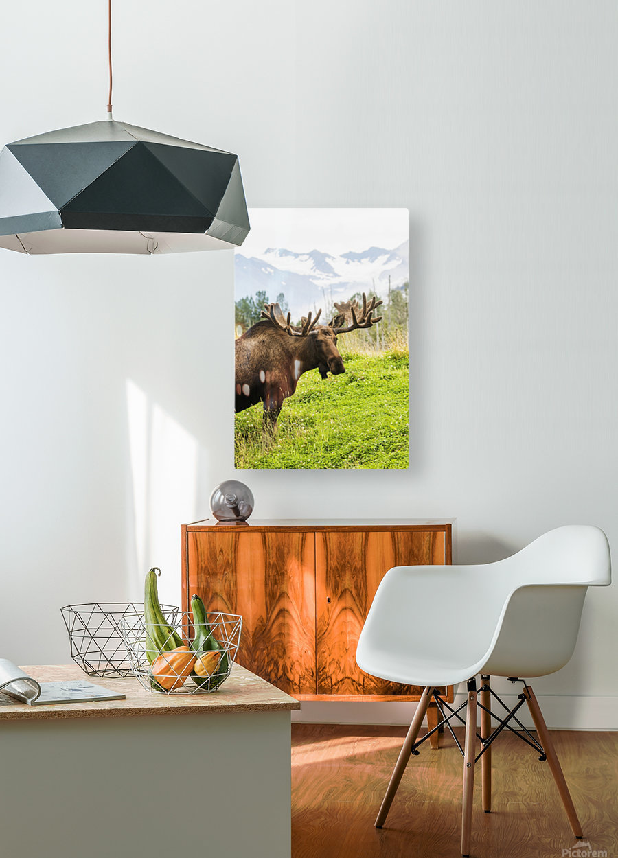 Bull moose (alces alces) with antlers in velvet, captive in Alaska Wildlife Conservation Center, South-central Alaska; Portage, Alaska, United States of America  HD Metal print with Floating Frame on Back