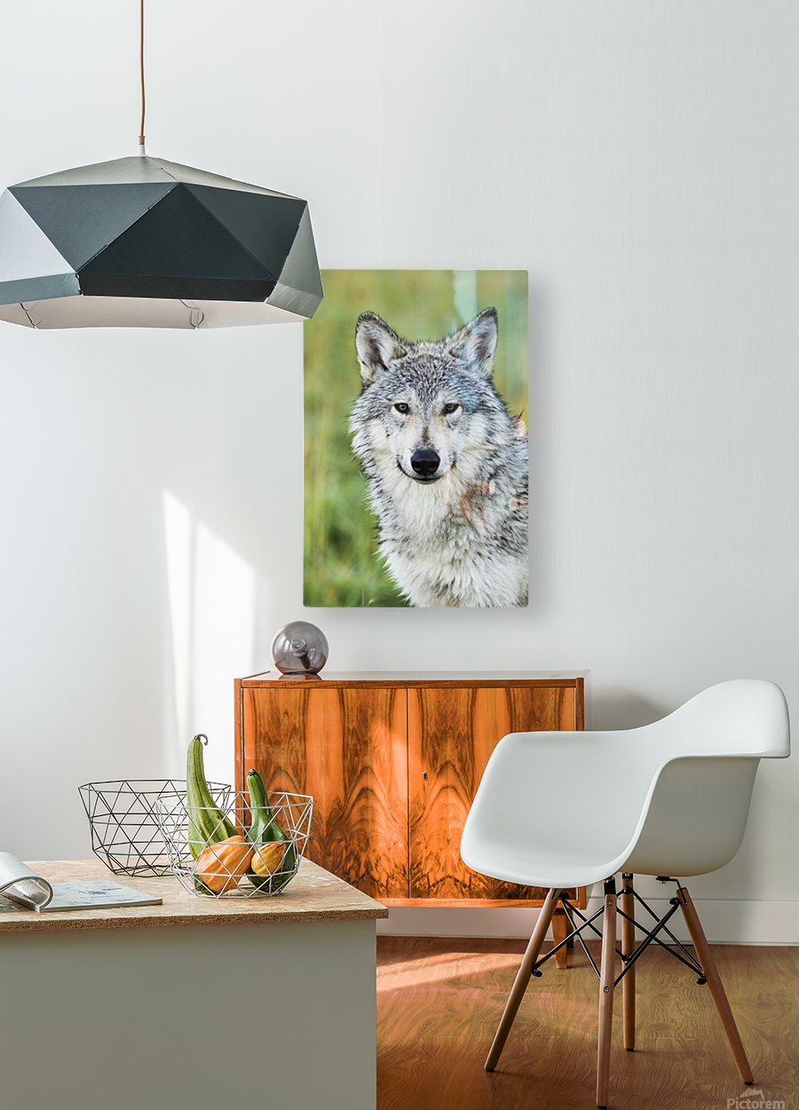 Immature female wolf (canis lupus), captive at the Alaska Wildlife Conservation Center, South-central Alaska; Portage, Alaska, United States of America  HD Metal print with Floating Frame on Back