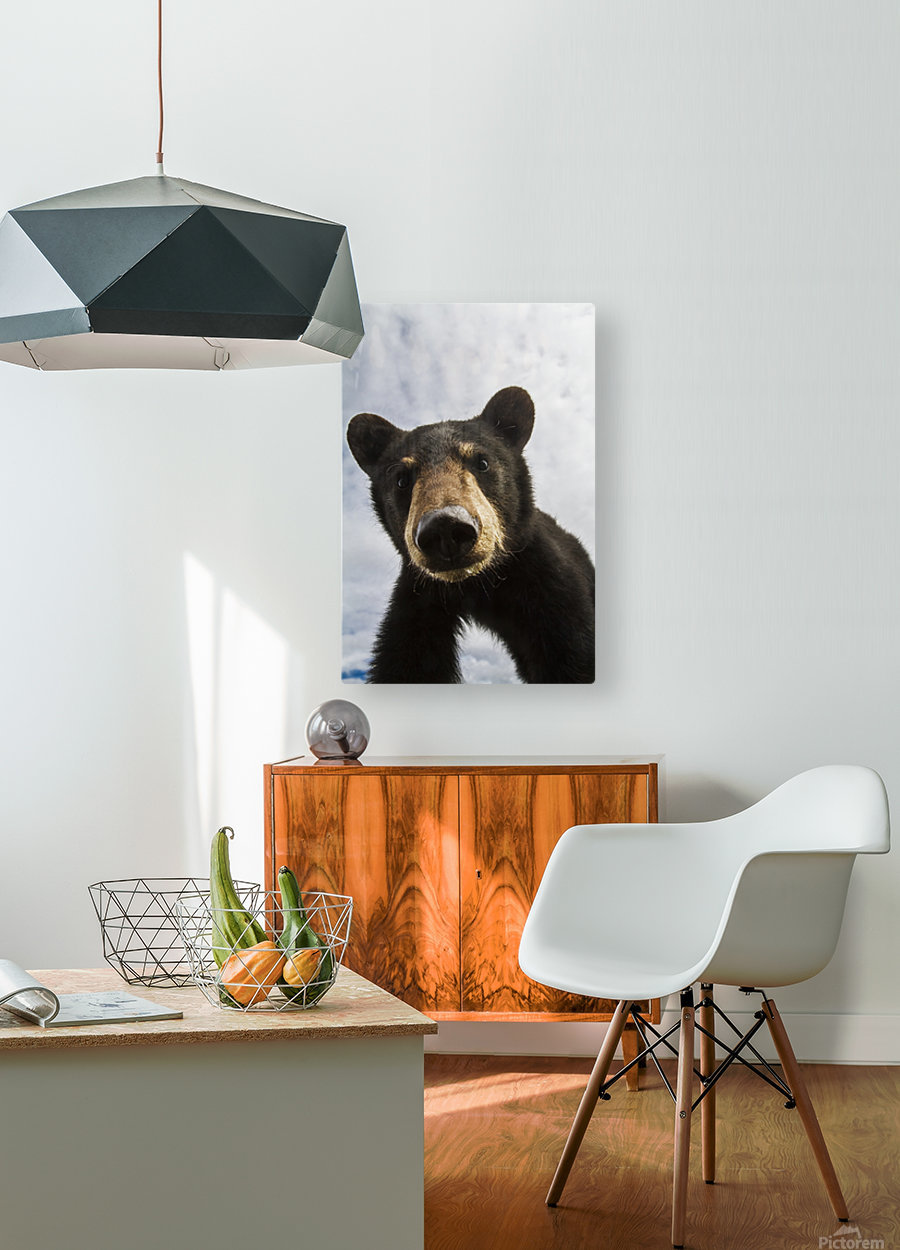 Black bear cub (ursus americanus), captive in Alaska Wildlife Conservation Center, South-central Alaska; Portage, Alaska, United States of America  HD Metal print with Floating Frame on Back