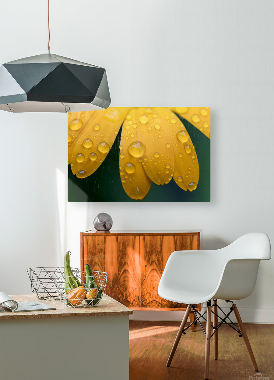Close up of water droplets on yellow flower petals; South Shields, Tyne and Wear, England  HD Metal print with Floating Frame on Back